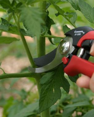 044028_pruning_tomatoes_01_xlg