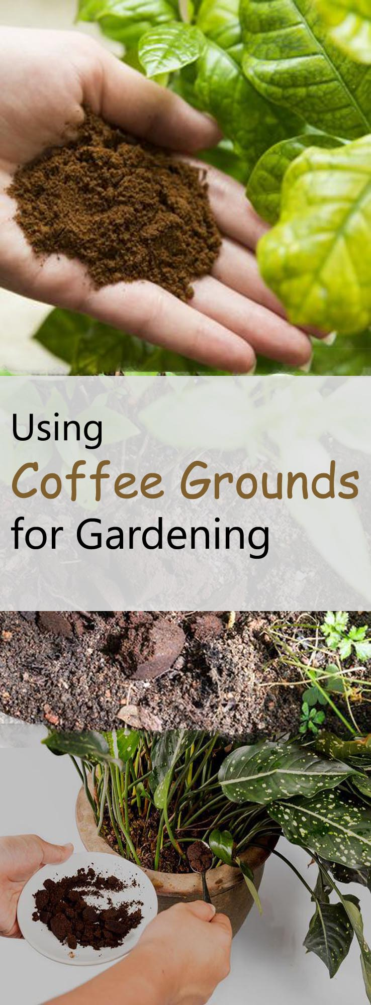 How to use coffee grounds correctly on the garden dan330 for How to use coffee grounds in garden