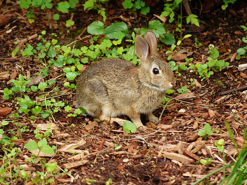 Keep Rabbits Out of Garden Using Essential Oils Dan330
