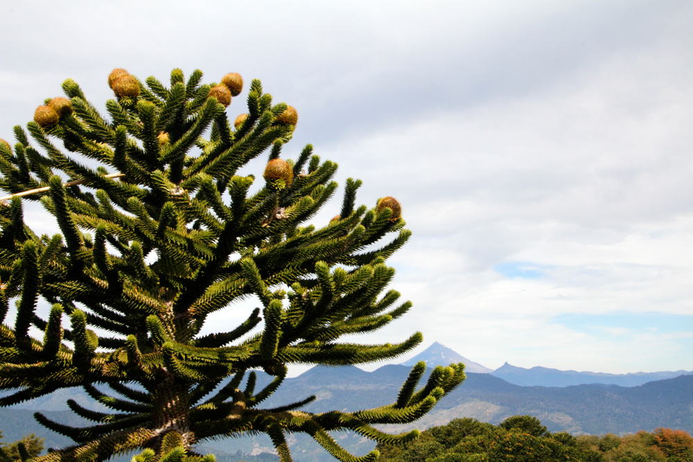 29-things-to-do-in-chile-monkey-apostle-trees