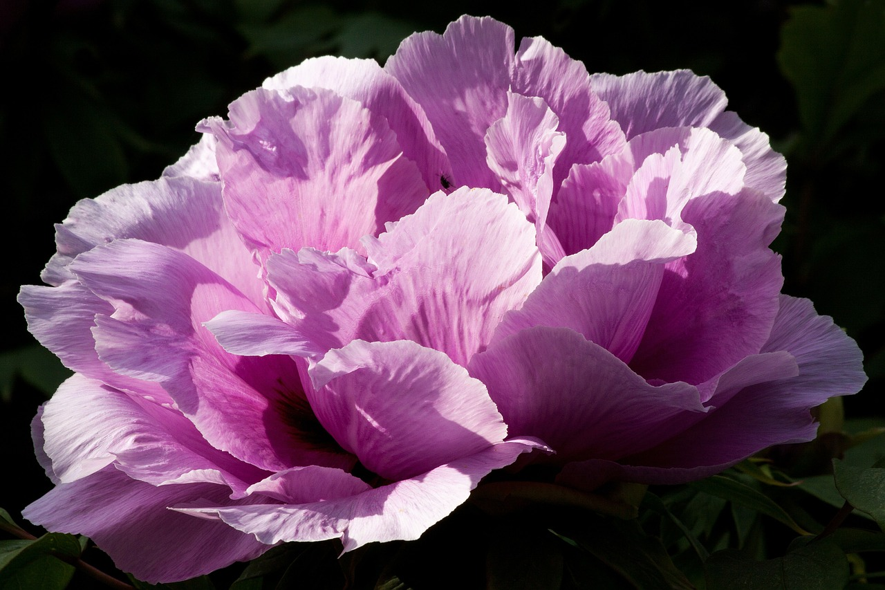peonie photo