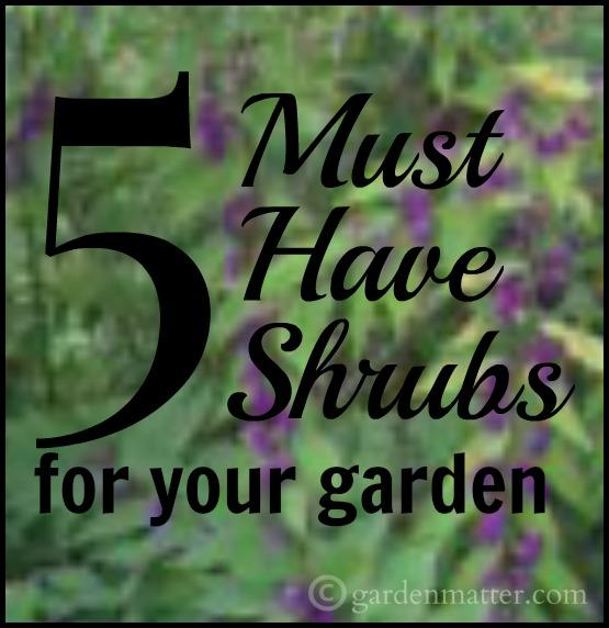 5-must-have-shrubs~gardenmatter.com