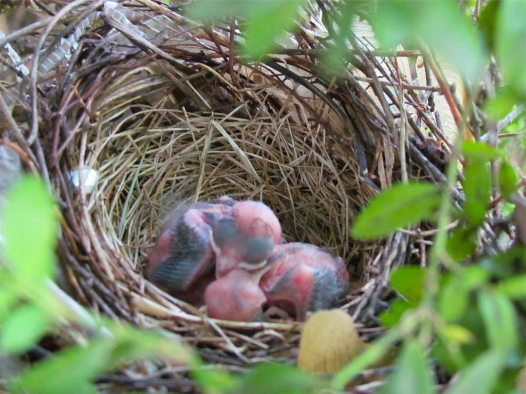 cardinal nest photo