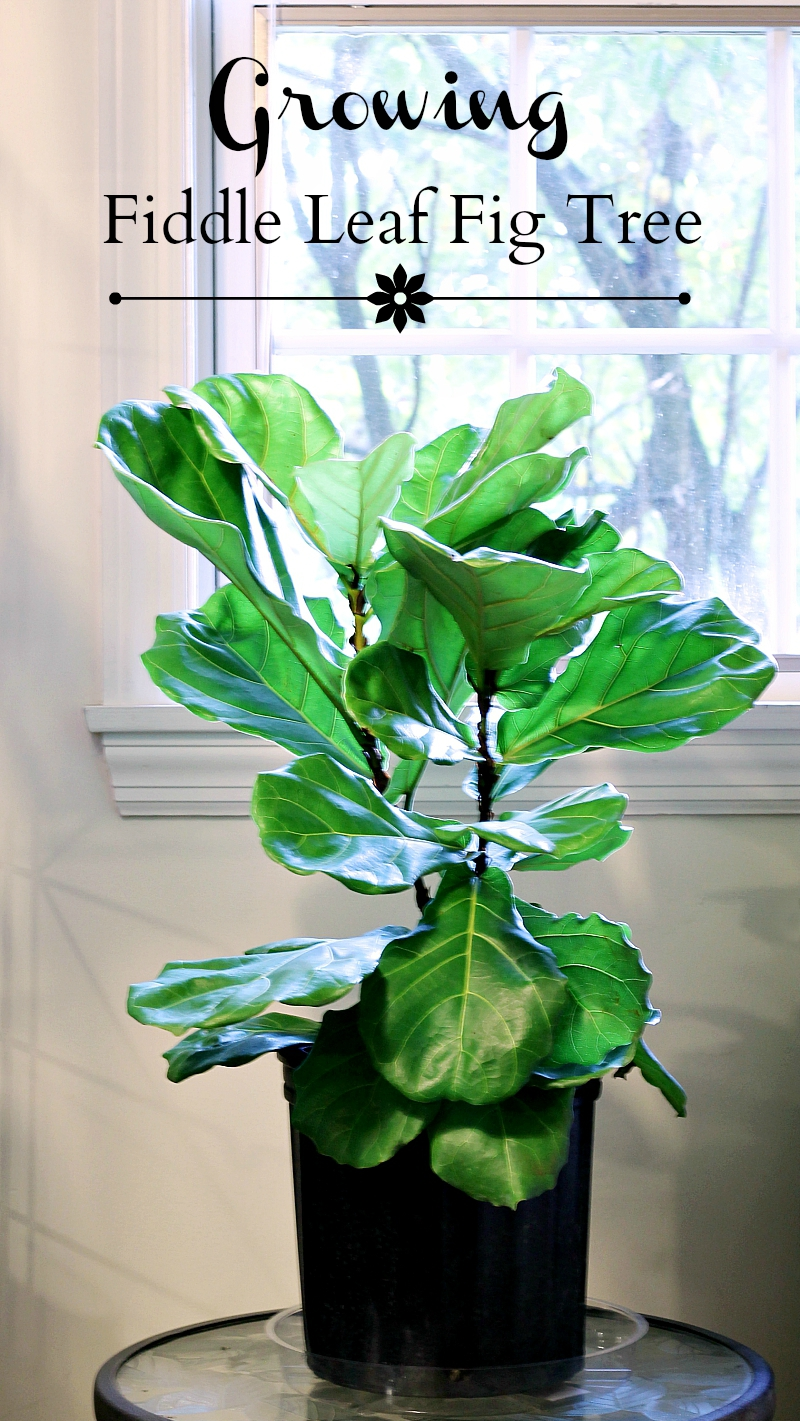 Fiddle Leaf Fig pin ~ gardenmatter.com
