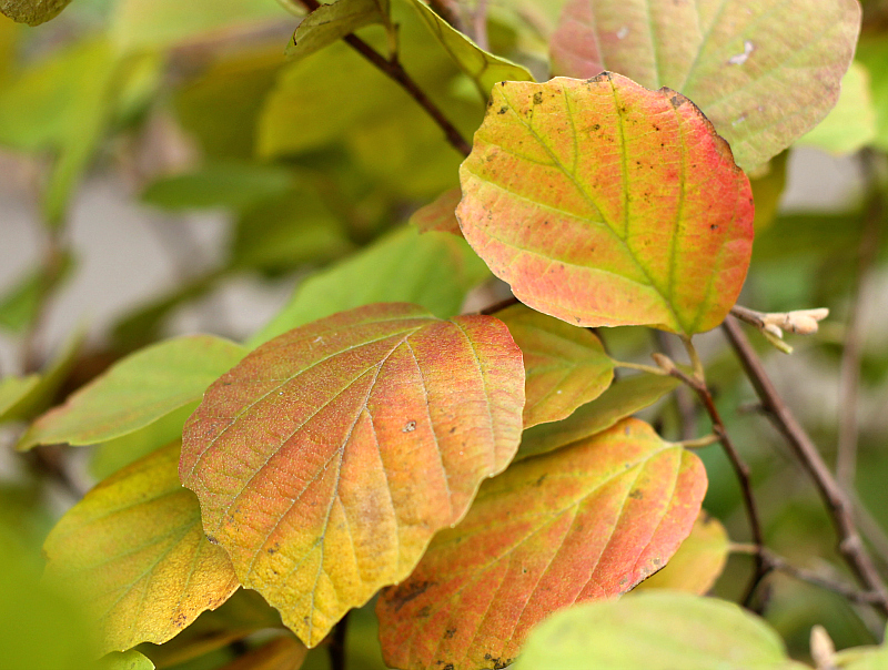 Fothergilla major ~ Plants with fall color
