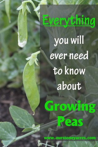 Growing-Peas-316x475