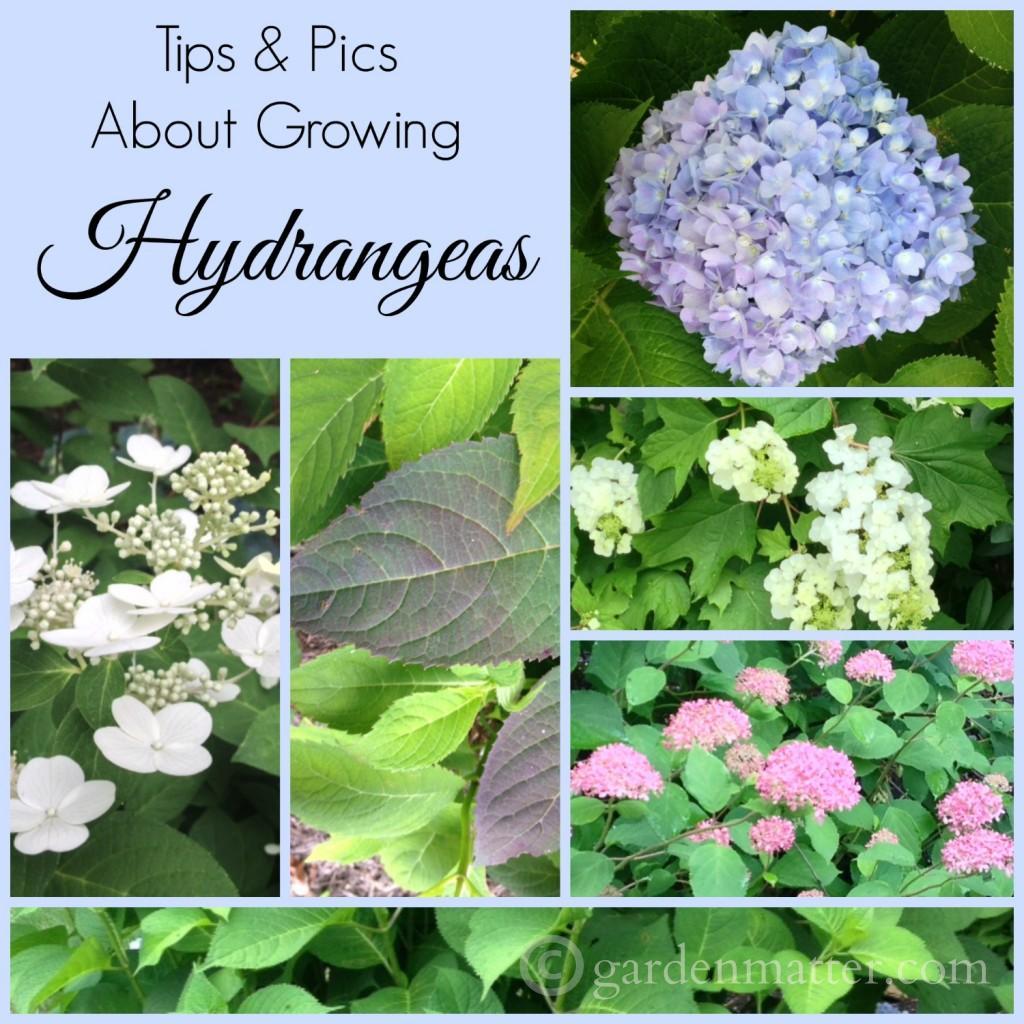 Hydrangea-Tips