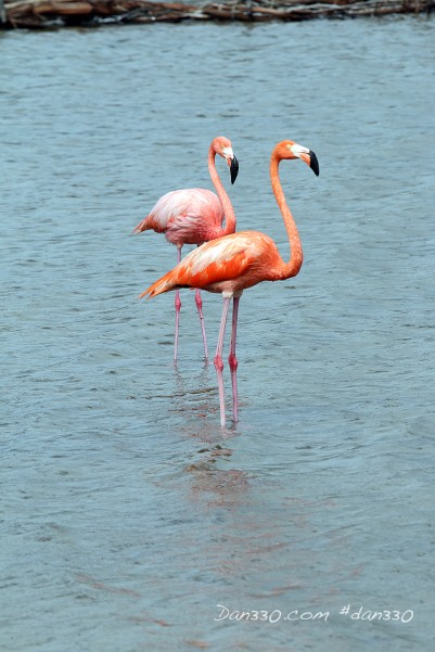 Flamingos in bonaire