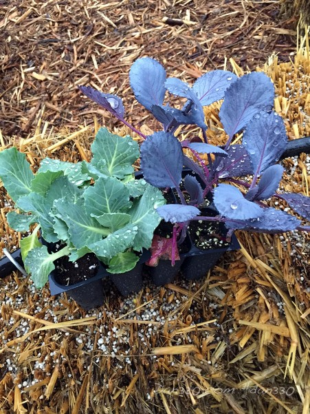 planting cabbage in a straw bale garden