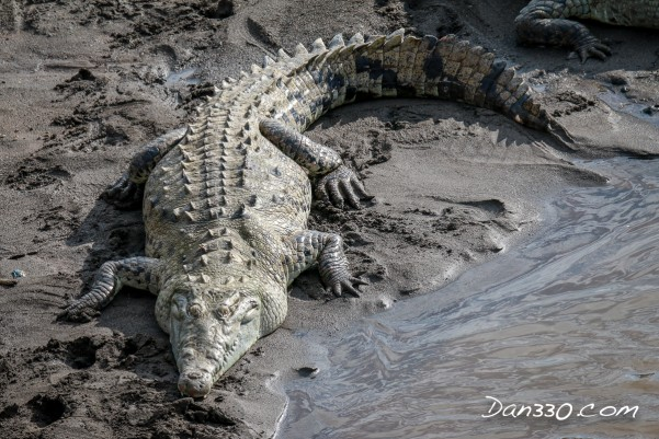 costa rican crocodile