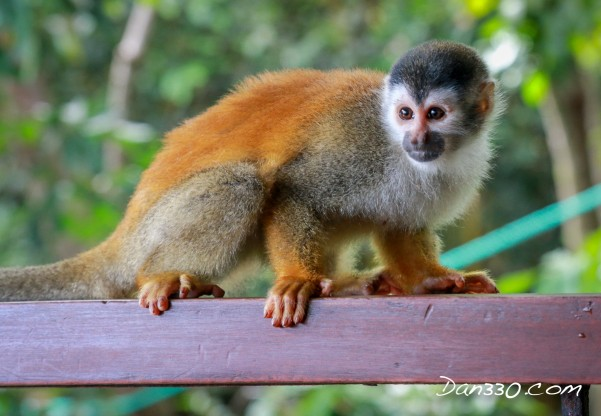 squirrel monkey on railing