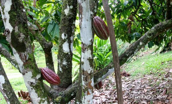 cocoa tree