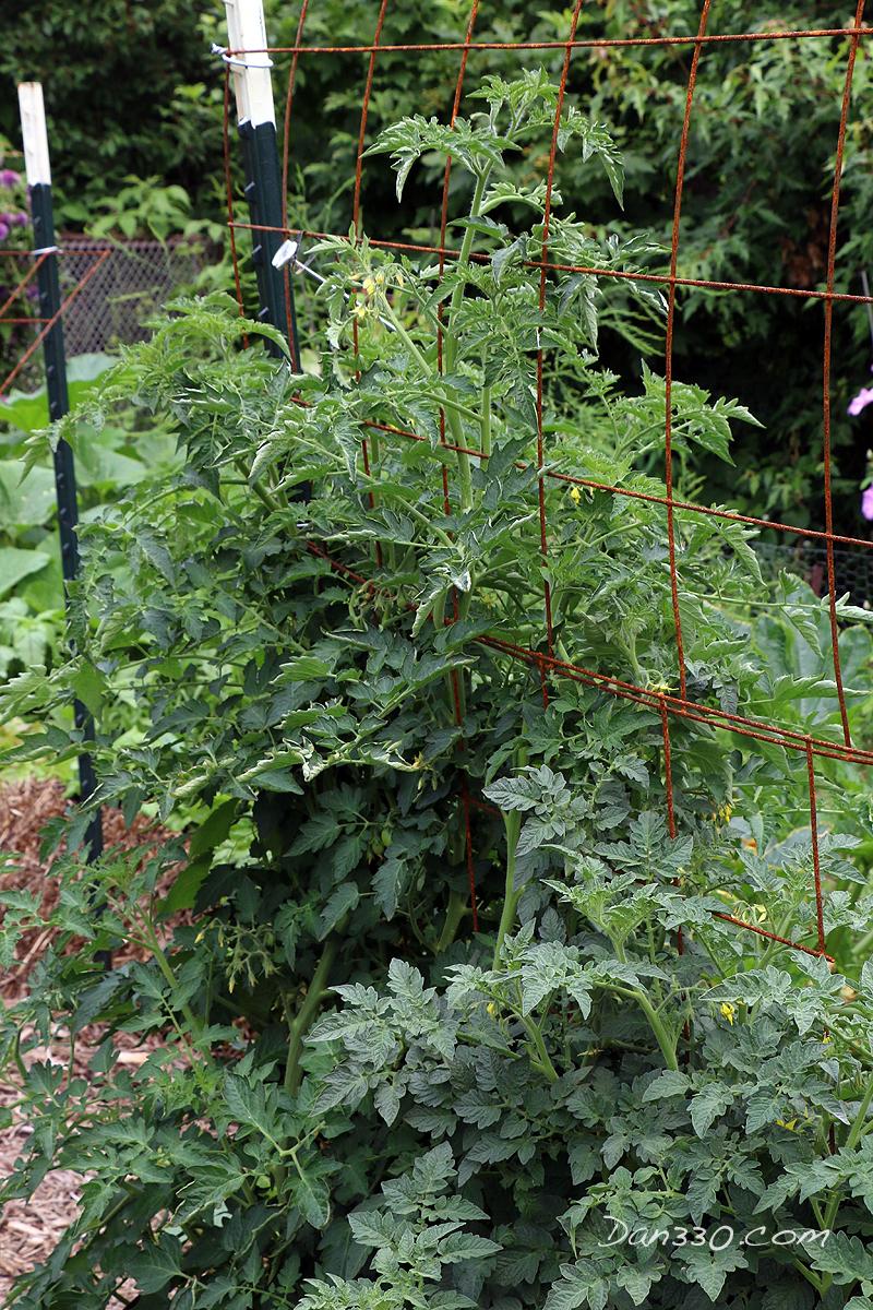 trimming a tomato plant