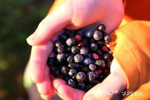 Picking Wild Blueberries at Elbow Lake