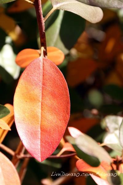 rhododendrum leaf in fall