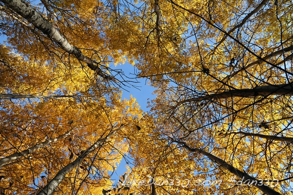yellow poplar treets