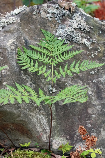 Fern at Elbow Lake