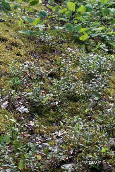 blueberry plants in moss