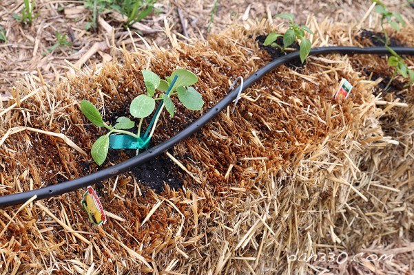 straw bale garden spaghetti squash