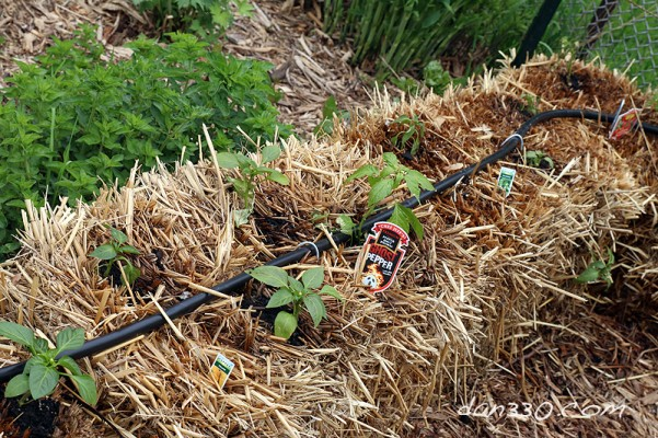 straw bale garden peppers