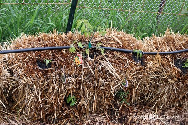 straw bale garden basil