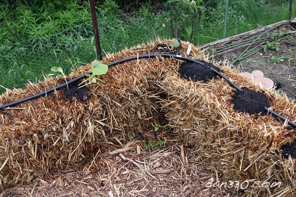 straw bale garden squash