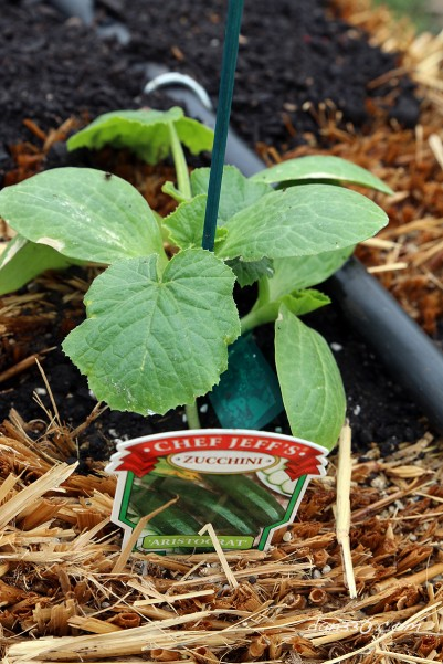 straw bale garden zucchini