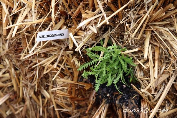 straw bale garden lavender