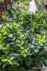 where to buy blueberry bushes