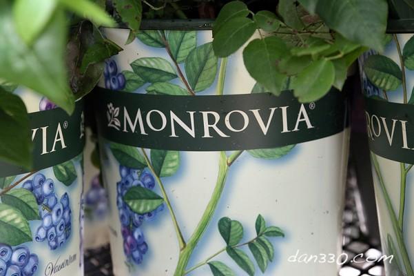 Monrovia blueberry pot