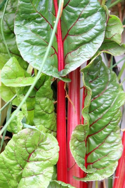 straw bale garden chard
