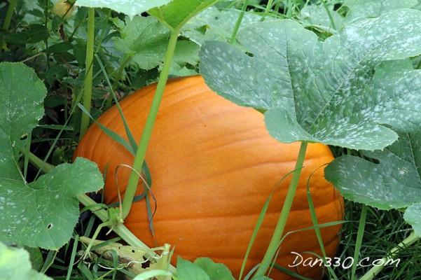straw bale garden pumpkin