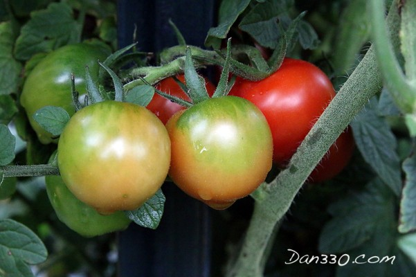 straw bale garden tomato