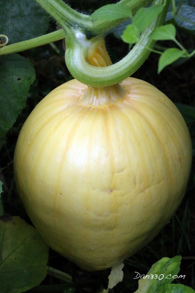 This is a growing Dills Atlantic pumpkin. But this is right after pollination.