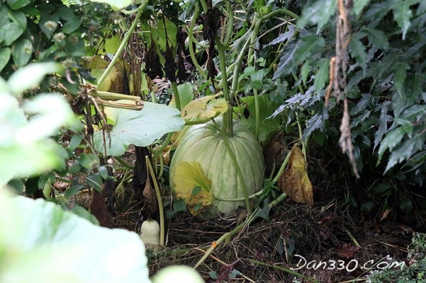 This is a growing Dills Atlantic pumpkin