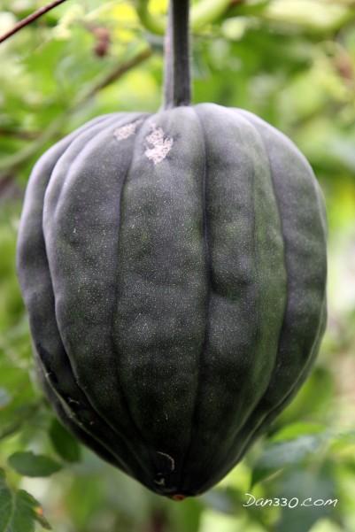 straw bale garden acorn squash