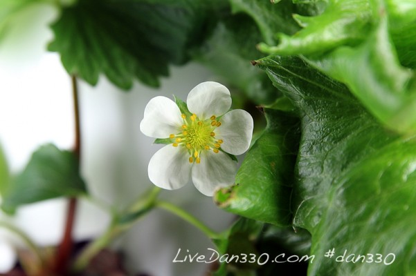 strawberry plant blooming