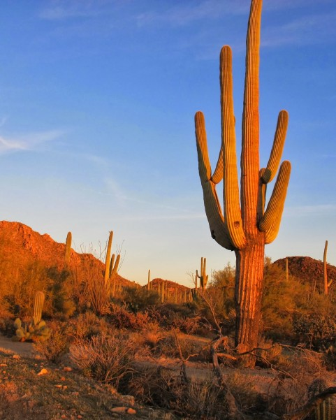 Saguaros Stand Tall In National Park In Arizona Dan330