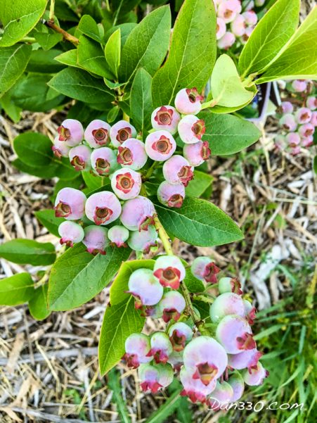 blueberries on plant