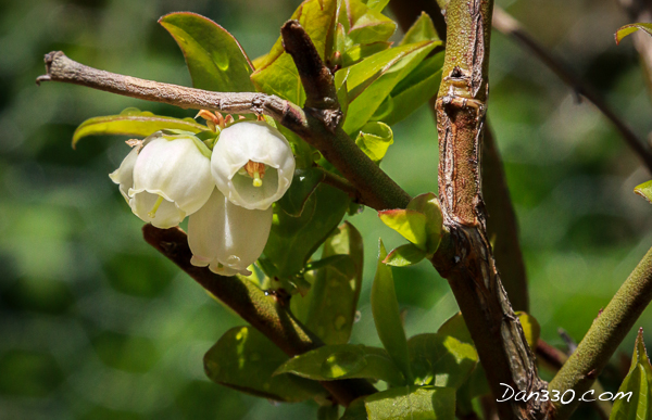 Northland Blueberry Flowers