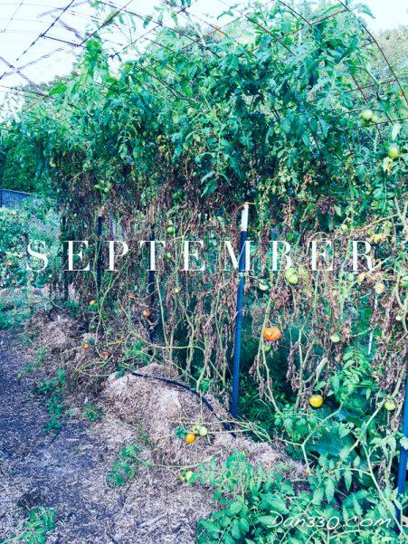 september tomato