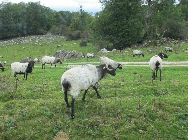 Ancient breed of black-headed sheep graze near old Roman burial circles in the Pyrenees northeast of Pamplona.