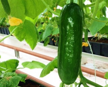 Indoor-Grown-Cucumber-600x517