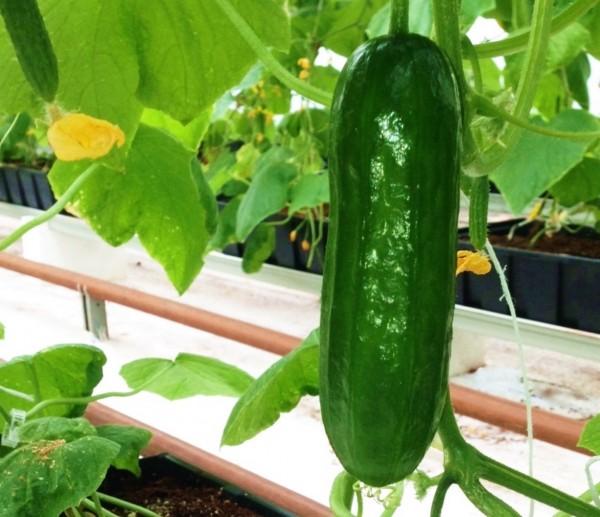Indoor-Grown-Cucumber-600x517