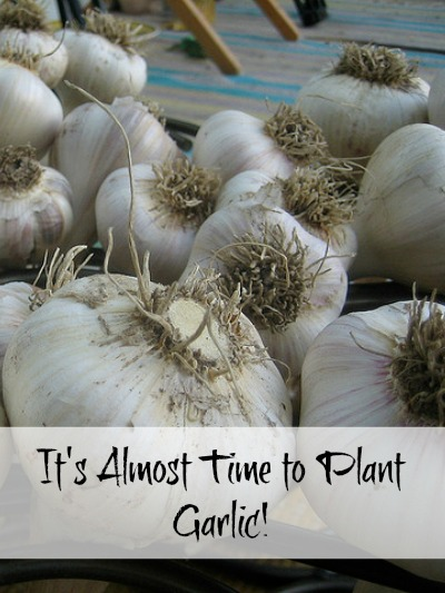 Its-Almost-Time-to-Plant-Garlic