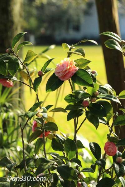 MagnoliaCamillia- copy