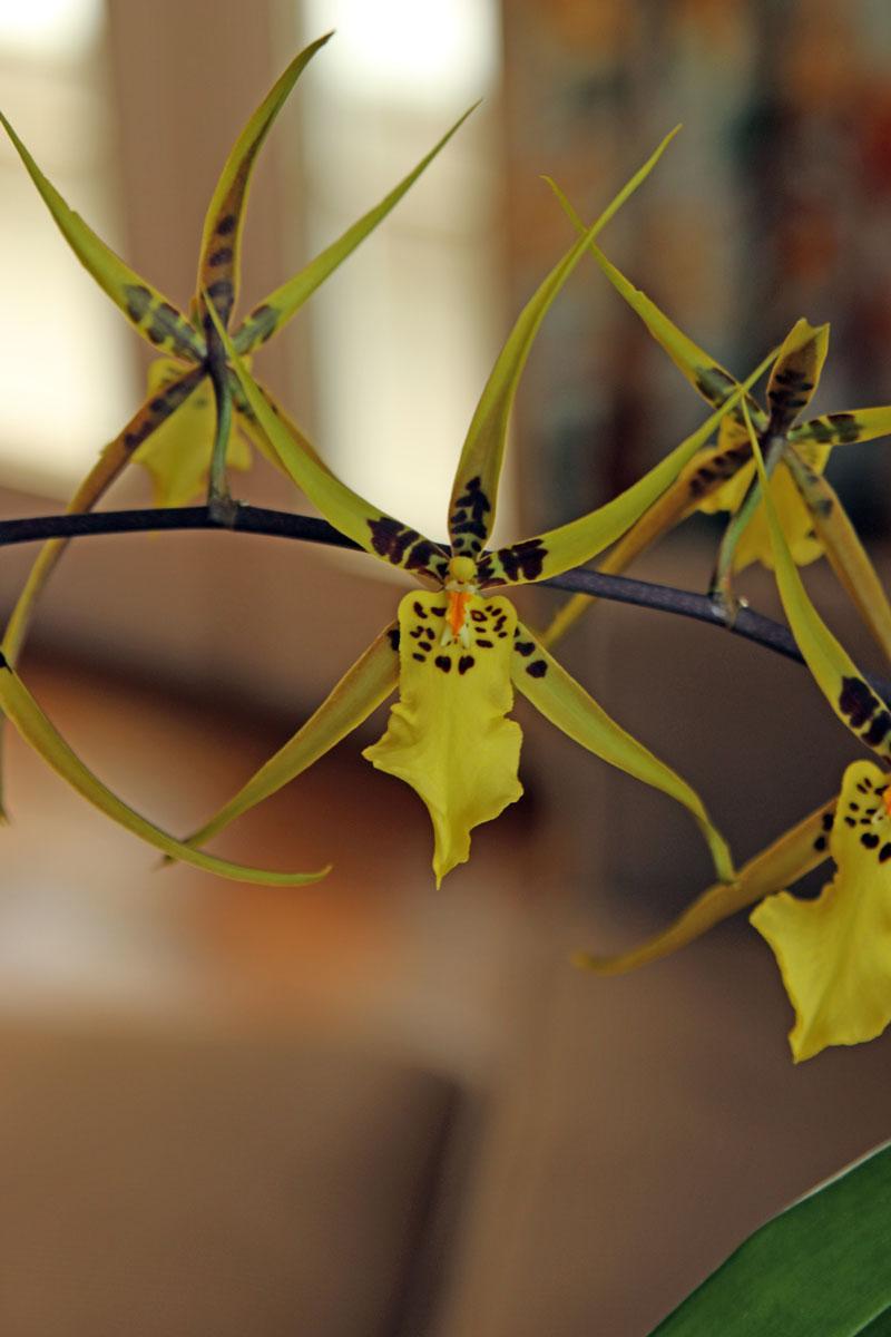OrchidYl