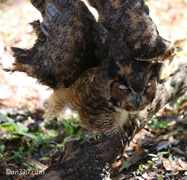 OwlWings