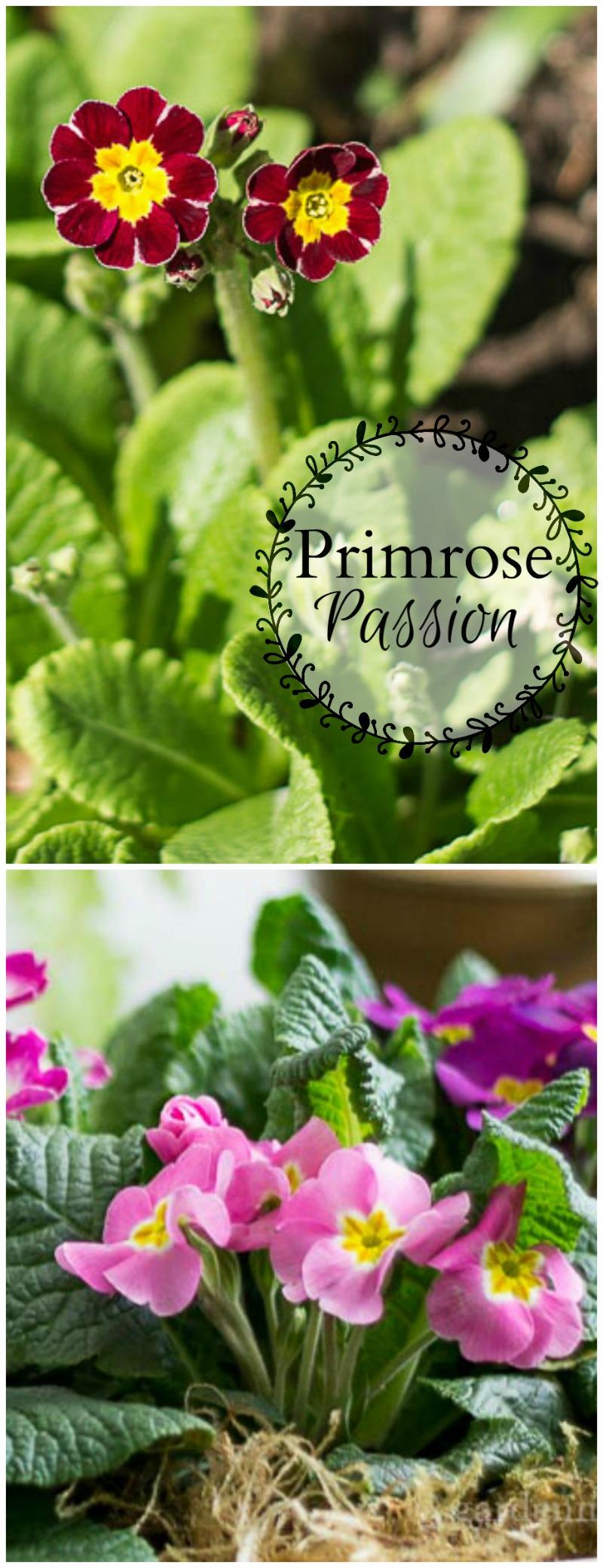 Primrose Passion