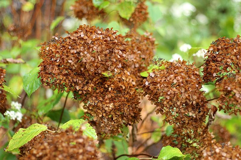 Pruning Perennials Hydrangea ~ gardenmatter.com